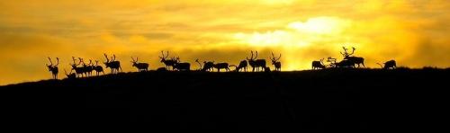 reindeer-hammerfest-ridge