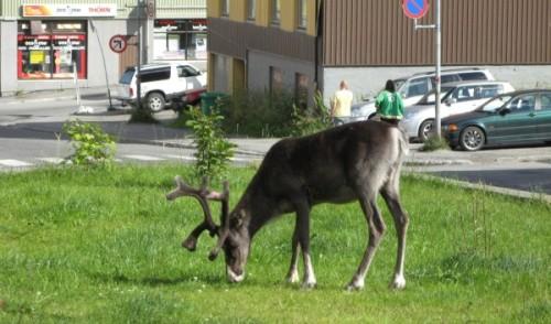 reindeer-town-Hammerfest