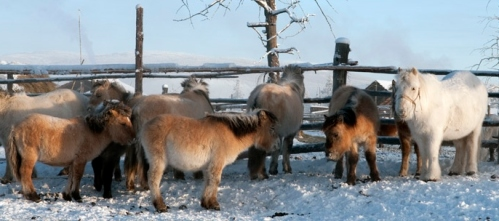 siberian-ponies