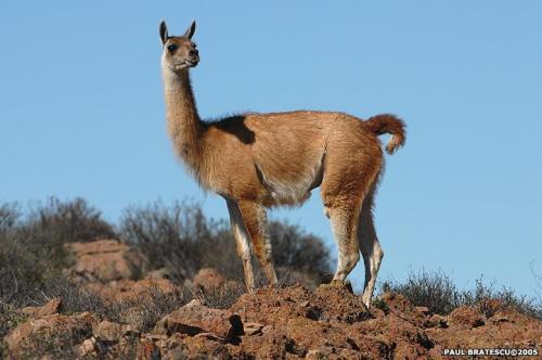ushuaia-guanaco