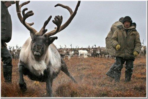 chukotka-reindeer