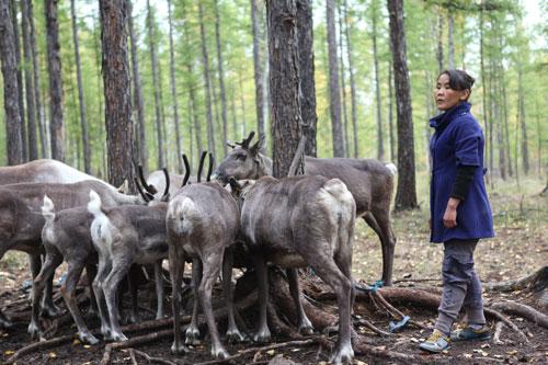 evenki-reindeer