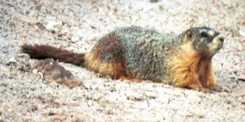 mongolian-marmot