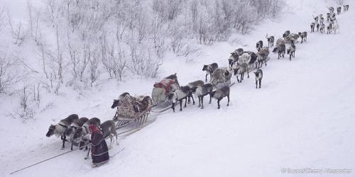 nenets-reindeer-train