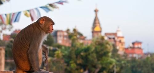 nepal-monkey