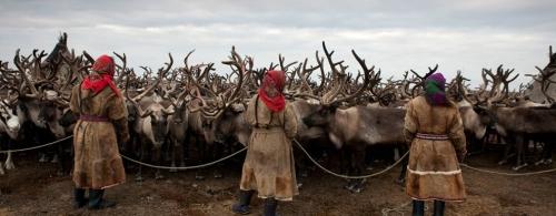 reindeer-pen