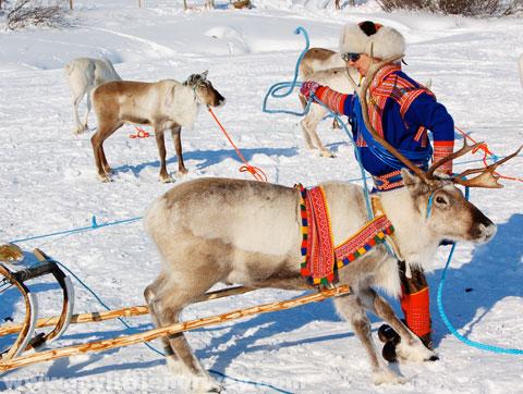 reindeer-sami