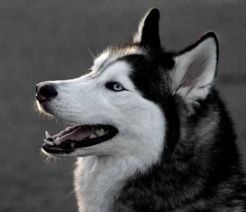 siberian-huskey6