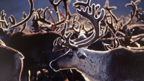 siberian-reindeer-2