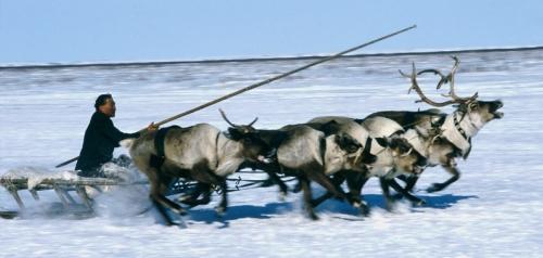 siberian-reindeer-3
